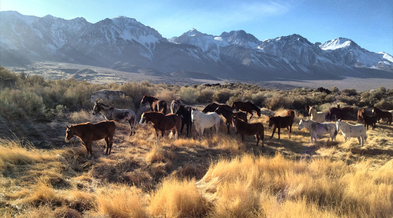 Horses grazing in a GDE meadow, Inyo County